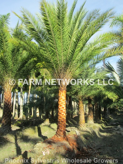 South Florida Palm Trees 786 255 2832 Clusia For Sale